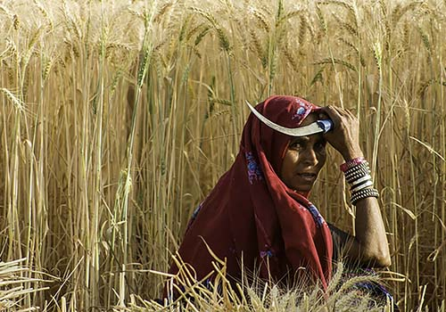 Woman Wheat Harvesting in Gujarat, India